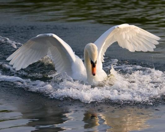 У Бердичеві на озері застрелили лебедя