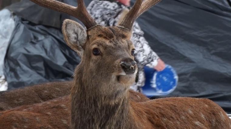 Плямистих оленів розводять у Явненському лісництві на Житомирщині