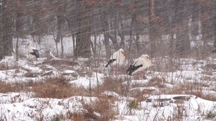 На околиці Житомира замерзають лелеки