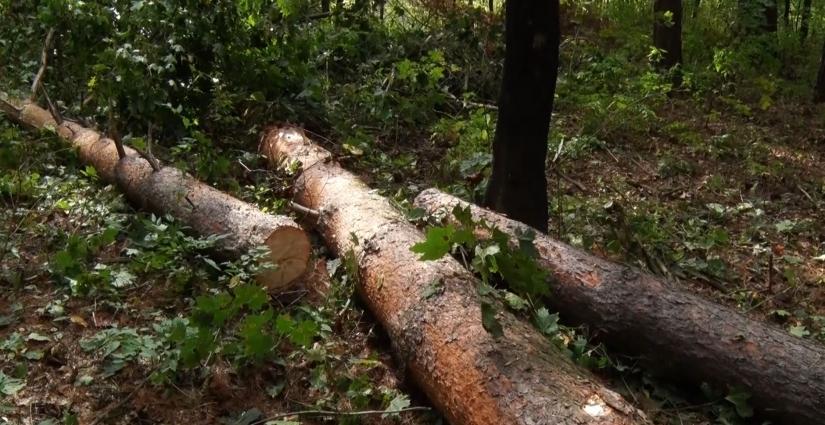 Верхівковий короїд нищить ліси Житомирщини