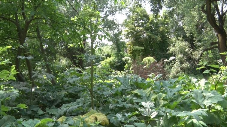 Лікарі закликають містян обачніше гуляти біля отруйних рослин