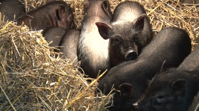 5-го лютого 2019-го року розпочнеться рік Жовтої Земляної Свині