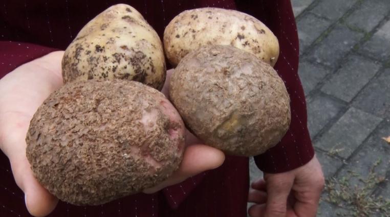 Чому на Житомирщині вродила неїстівна картопля?
