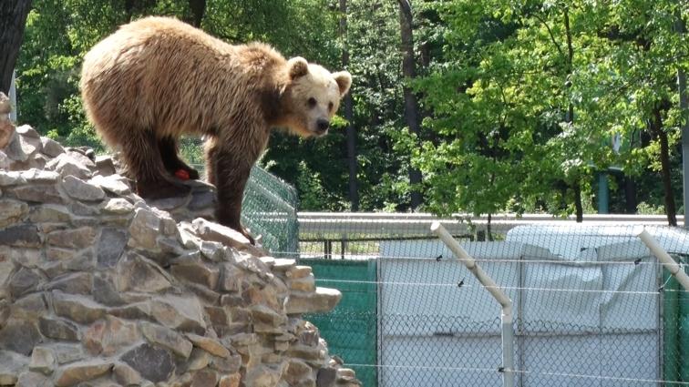 Житомирські ведмедики, які досягли спокійного життя